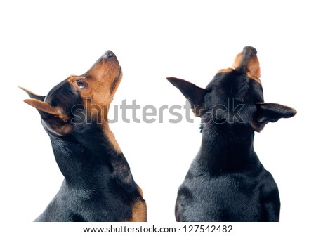 Two Pinscher dogs isolated on white looking up