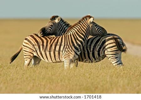 Two Plains (Burchell's) Zebra  stallions (Equus quagga), Etosha National Park, Namibia - stock photo