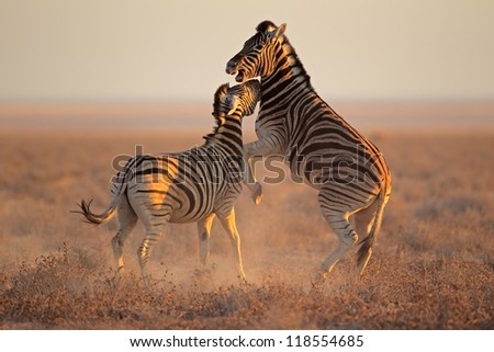 Two Plains (Burchells) Zebra stallions (Equus burchelli) fighting, Etosha National Park, Namibia