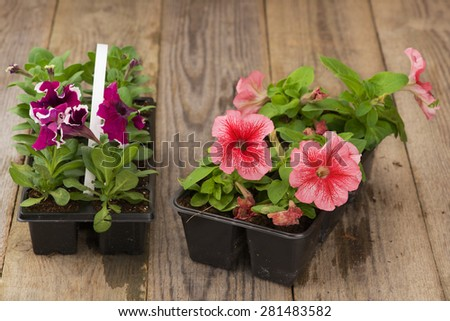 Two plastic flowerpots with pink and violet petunia seedlings on the aged wooden table.  - stock photo