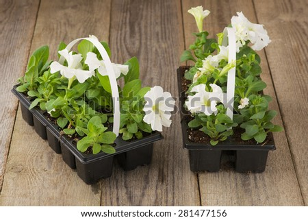 Two plastic flowerpots with white petunia seedlings on the aged wooden table.  - stock photo