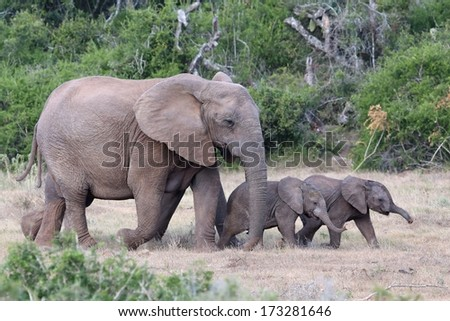 Two playful baby African elephants running ahead of their mother - stock photo