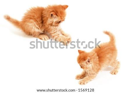 two playful orange Himalayan kittens - stock photo