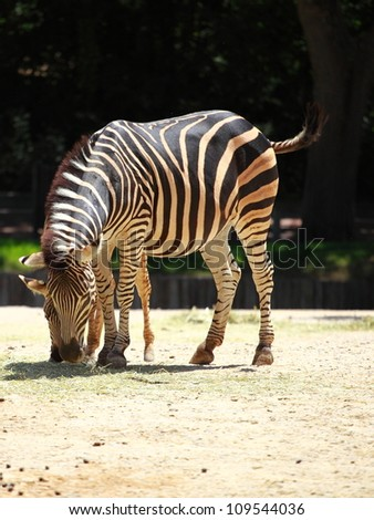 Two playful young zebras - stock photo