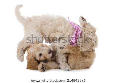 two playing australian labradoodle dogs isolated on a white background