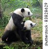 Two playing giant panda bears - stock photo