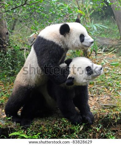 Two playing giant panda bears - stock photo