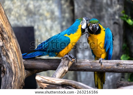 Two playing parrots in love - stock photo