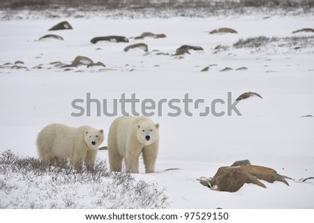 Two polar bears in snow-covered tundra. - stock photo