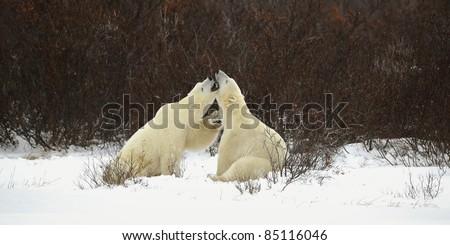 Two polar bears playfighting Hudson Bay Churchill Manitoba Canada - stock photo