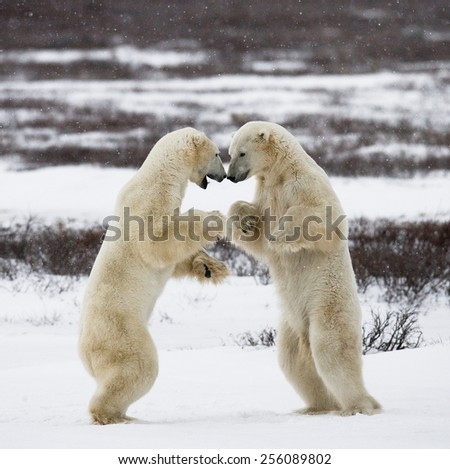 Two polar bears playing with each other. - stock photo
