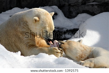 Two polar bears sharing a meaty bone - stock photo