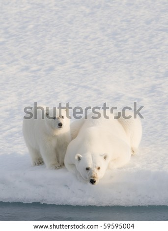 Two Polar Bears (Ursus maritimus). Longyearbyen, Svalbard, Norway - stock photo