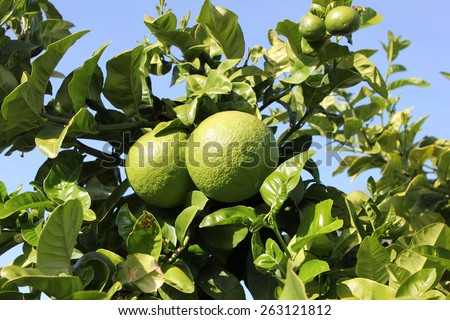 Two Pomelo fruits growing on tree - stock photo