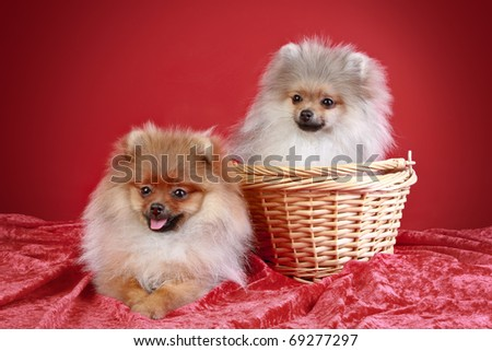two Pomeranian Spitz Puppies (5 months)  in wicker basket  on a red background - stock photo