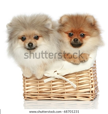 two Pomeranian Spitz Puppies (5 months)  in wicker basket on a white background - stock photo