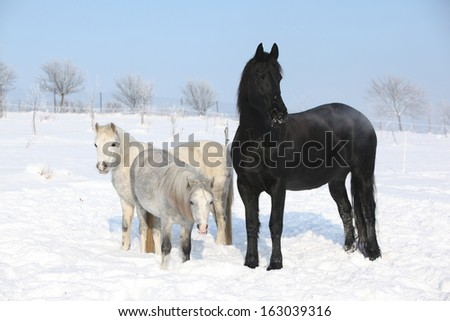 Two ponnies and one friesian mare together in winter - stock photo