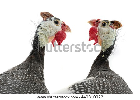 two portrait Guinea fowls (Numida meleagris) isolated on a white background in studio. - stock photo