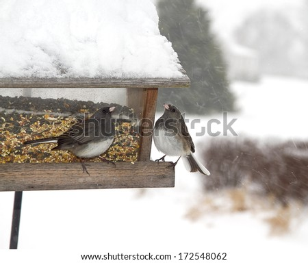 Two possible Junco birds at bird feeder in midst of snow storm - stock photo