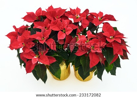 Two potted Poinsettia plants isolated on a white background used for Christmas displays and themes.
