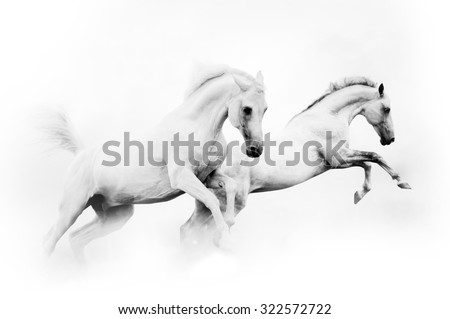 two powerful snow white horses jumping over a white background - stock photo