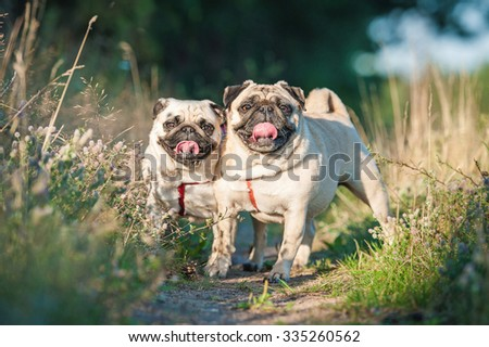 Two pug dogs on the walk in summer - stock photo