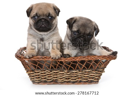 Two pug puppy sitting in a basket, and looking at the camera (isolated on white)