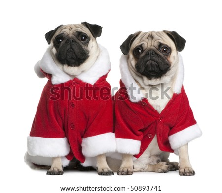 Two Pugs in Santa coats, 1 and 2 years old, sitting in front of white background - stock photo