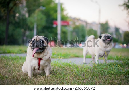 Two pugs walking on a grass along a street  - stock photo