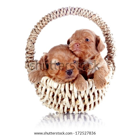 Two puppies in a wattled basket. Puppy of a decorative doggie. Decorative dog. Puppy of the Petersburg orchid on a white background - stock photo