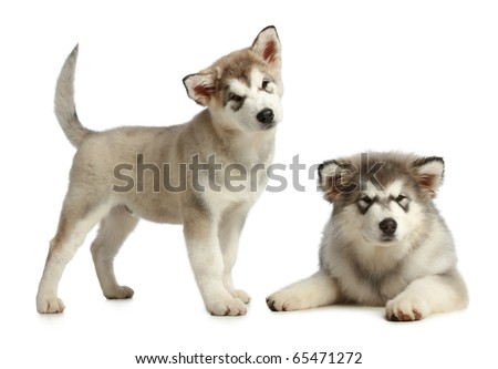 Two puppies malamute (3 months) pose on a white background