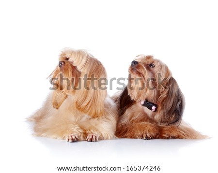 Two puppies of a decorative doggie. Decorative dogs. Puppies of the Petersburg orchid on a white background - stock photo