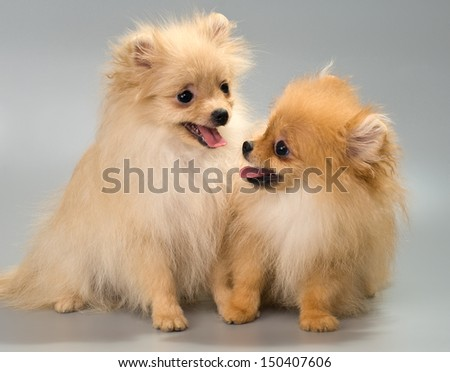 Two puppies of breed a Pomeranian spitz-dog in studio on a neutral background