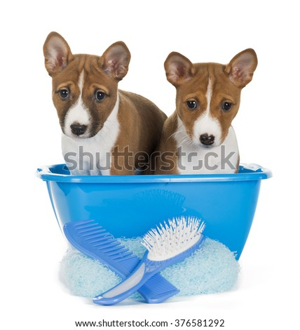 two puppies of the Basenji in the wash basin on white background