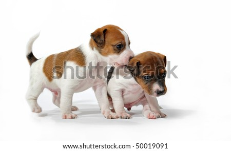 two puppies purebred jack russel terrier playing on a white background