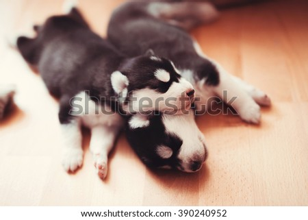 two puppies Siberian Husky. Litter dogs sleeping on the floor of the house. Little puppies. - stock photo
