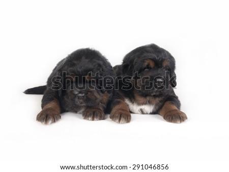 Two Puppies Tibetan Mastiff - stock photo