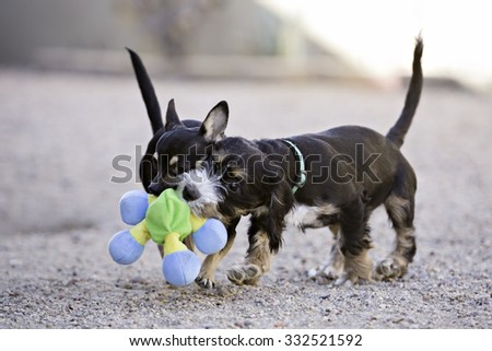 Two Puppy Dogs playing with a toy - stock photo
