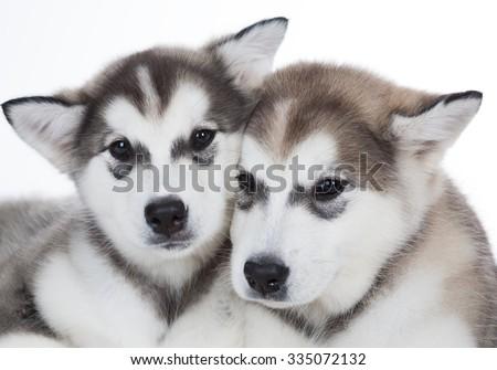 Two puppy Husky.  - stock photo