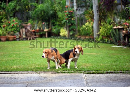two purebred beagle dog making love in a garden