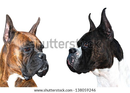 Two purebred boxer dogs with cropped ears looking at each other