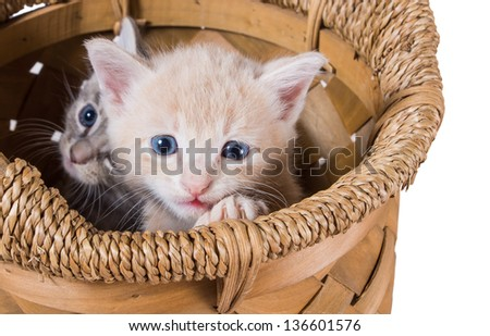 Two purebred kitten in a basket - stock photo