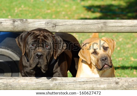 Two purebred South African Boerboel dogs with cute alert facial expression standing behind a fence on a farm and staring. - stock photo