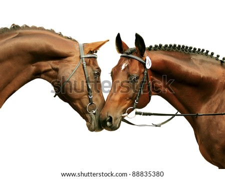 two purebred stallions isolated on white - stock photo