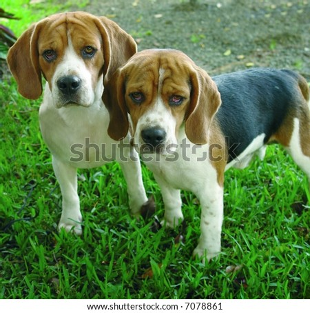 Two purebreed beagle dogs standing - stock photo