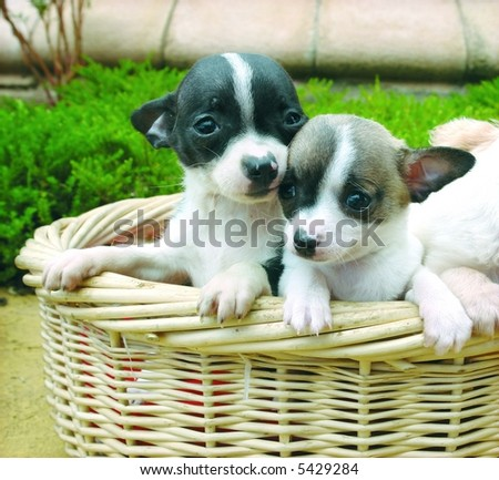 Two purebreed chihuahua puppies in a basket - stock photo