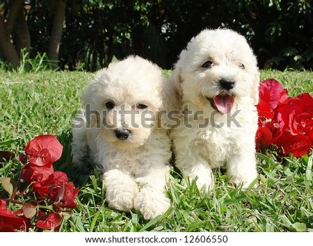 Two purebreed french poodle puppies - stock photo