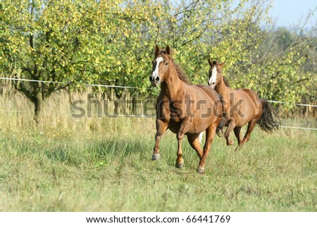 Two quarter horses moving
