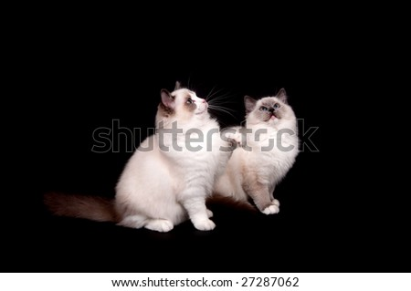 Two ragdoll kittens sitting on a black background