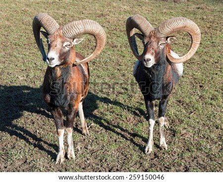 Two Rams - stock photo